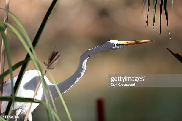 A heron is seen during the first round of the Valspar Championship at Innisbrook Resort Copperhead Course on March 10 2016 in Palm Harbor Florida