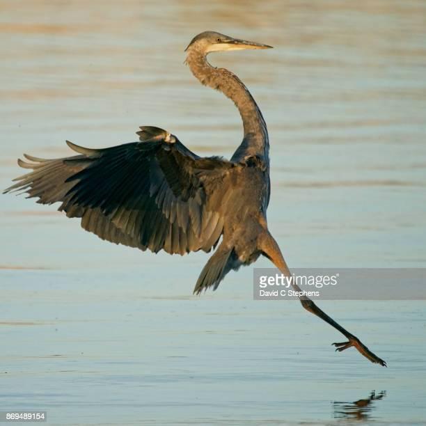 Heron lands in water