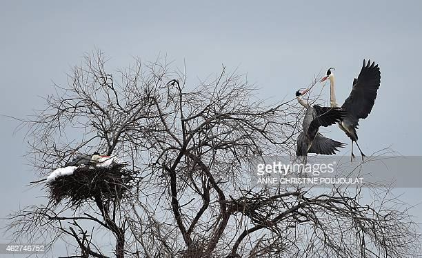 A heron nests at the Pont de Gau Ornithological Park in the Camargue on February 4 2015 Pont de Gau Ornithological Park facilitates the observation...