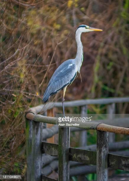 heron perché - alain bachellier photos et images de collection
