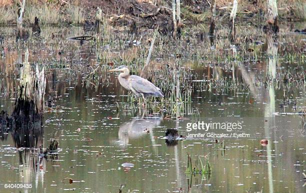 heron perching in lake at forest - fairfax county virginia stock photos and pictures