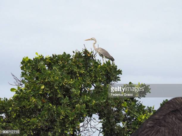 Heron Perching On Top Of A Tree On Maldivian Beach