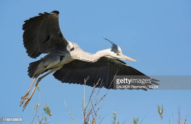 heron - サントマリードラメール ストックフォトと画像