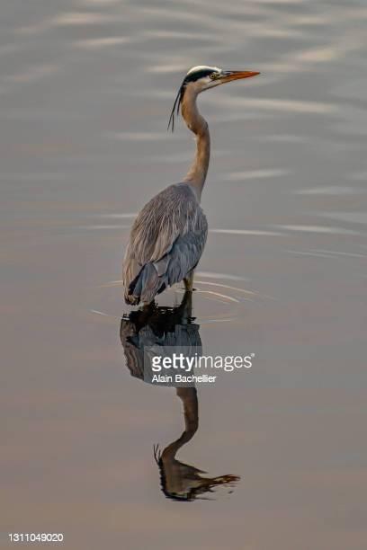 heron - alain bachellier photos et images de collection
