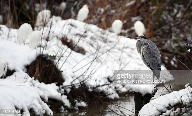 A heron stand on snow at the water edge in the Pont de Gau Ornithological Park in the Camargue on February 4 2015 Pont de Gau Ornithological Park...