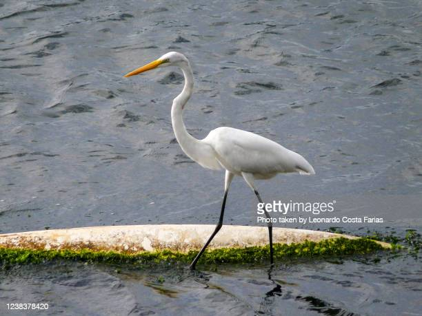 heron standing at the water - leonardo costa farias stock pictures, royalty-free photos & images