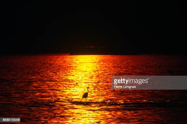 Heron, standing in the shallow part of the ocean, in the lsunset light. The shadow of an oil Tanker visible in background. English Bay, Vancouver, British Columbia, Canada