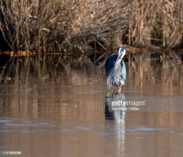 Heron Swallowing