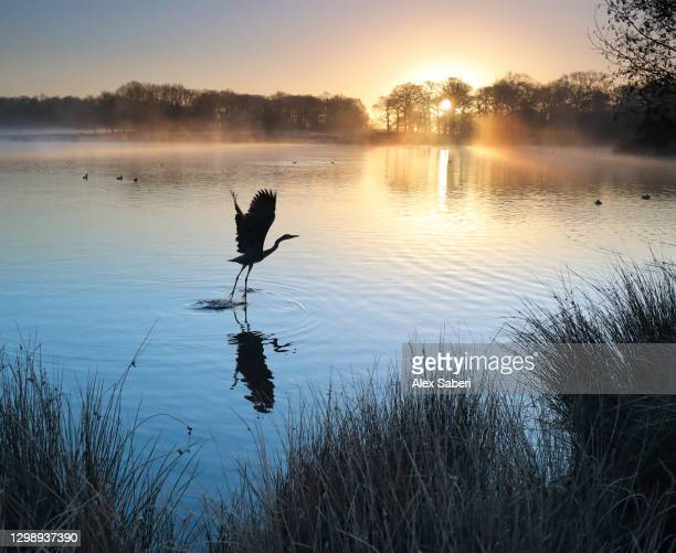 a heron takes flight. - alex saberi stock pictures, royalty-free photos & images