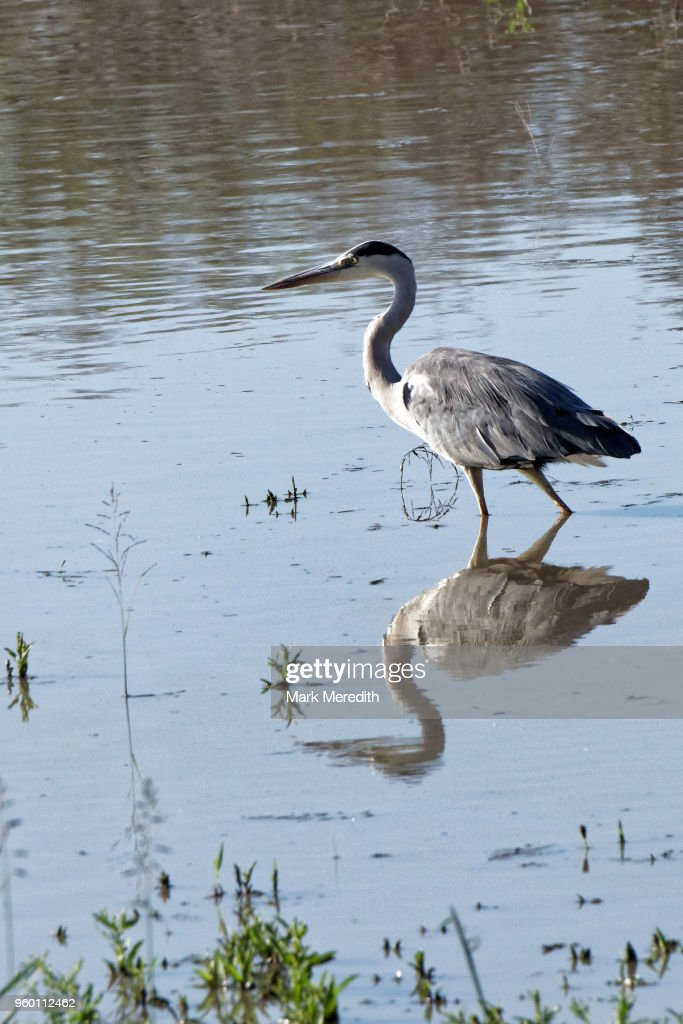 Heron wading in waterhole in Klaserie Reserve, Greater Kruger National Park : Stock-Foto