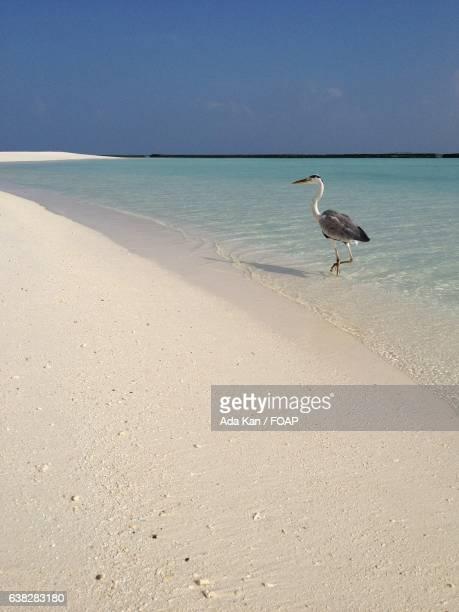 heron walking on beach - kanada stockfoto's en -beelden