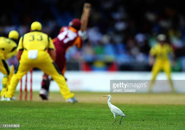 A heron walks around the field during the firstoffive One Day International matches between Australia and West Indies at the Arnos Vale Ground in...