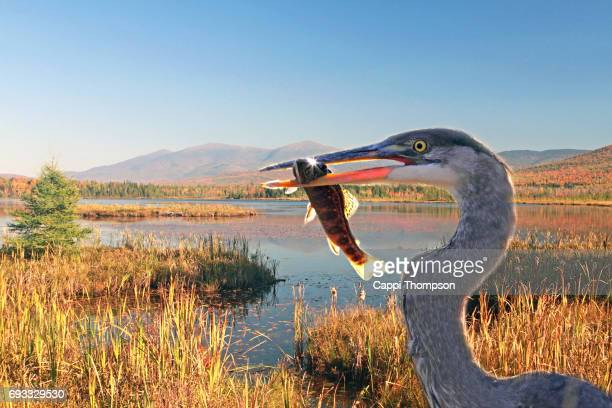 Heron with freshly caught brook trout