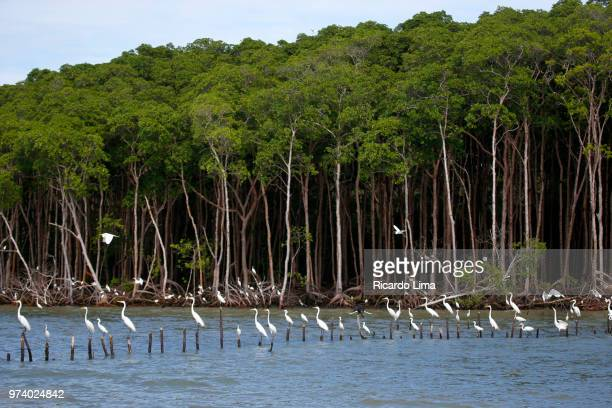 herons in mangrove forest, romana island, brazil - lima animal stock pictures, royalty-free photos & images