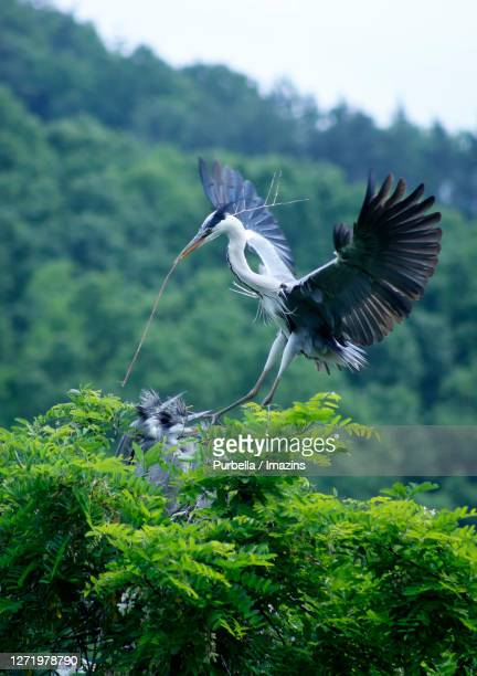 herons - rookery stock pictures, royalty-free photos & images