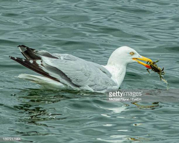 herring gull catching a crab in dublin bay, ireland - crab stock pictures, royalty-free photos & images