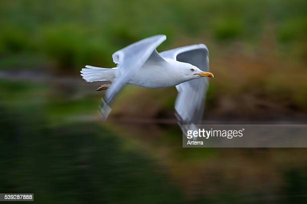 Herring gull flying over lake