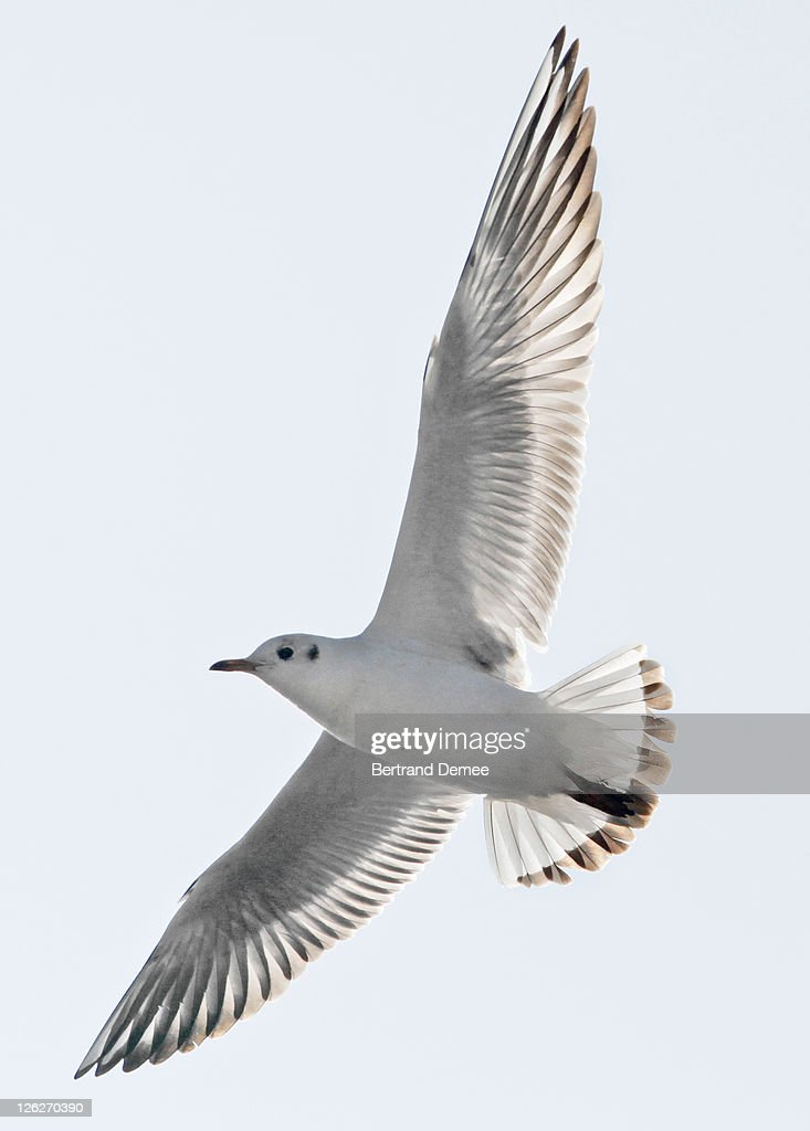 Herring Gull flying : Stock Photo