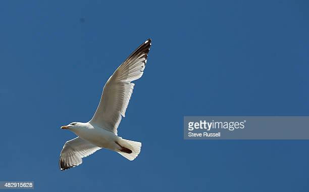 Herring Gull in flight over East Brother Island Chip Weseloh studies birds on Lake Ontario particularly the Herring Gull the Ring Billed Gull and the...