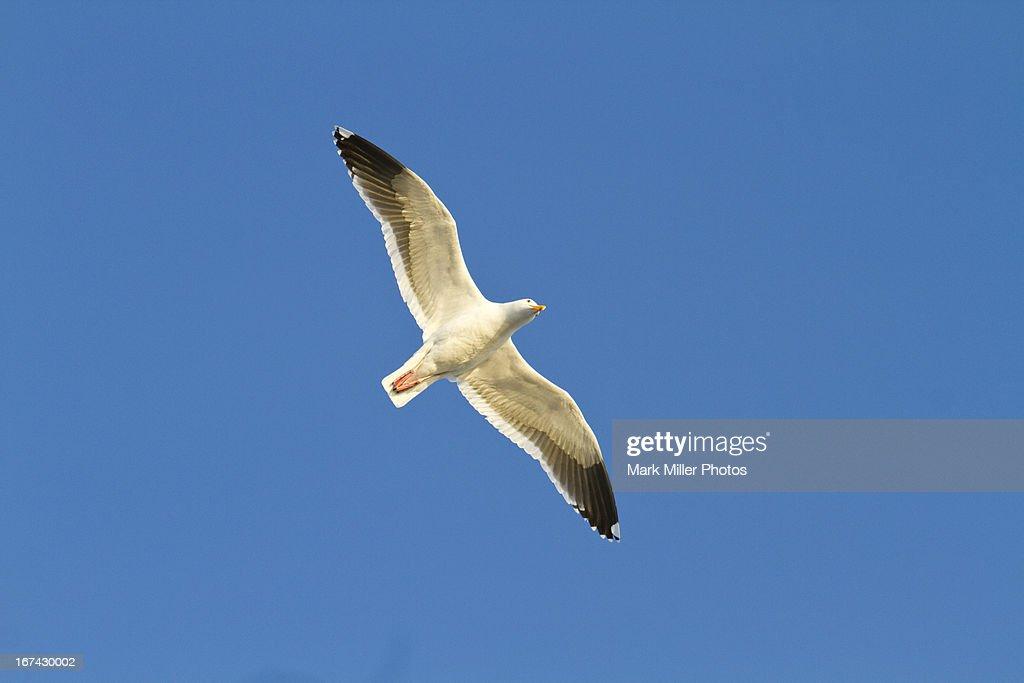Herring Gull in Flight : Foto de stock