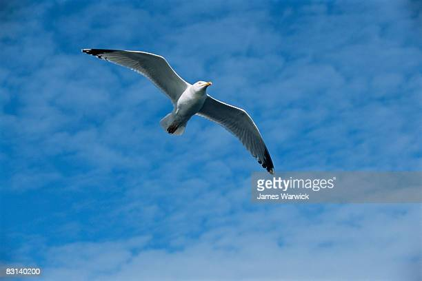 herring gull in flight - isles of scilly stock pictures, royalty-free photos & images