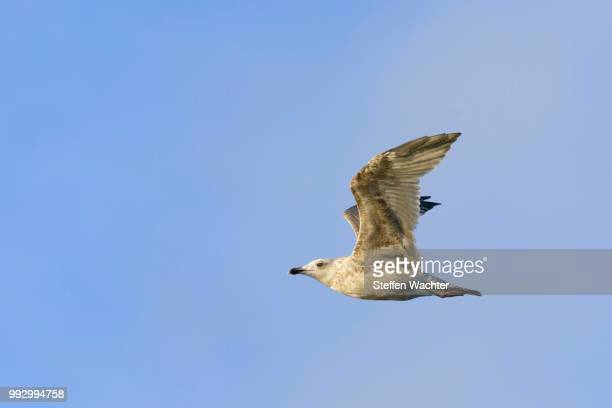 Herring Gull (Larus argentatus), juvenile, in flight, Heligoland, Schleswig-Holstein, Germany