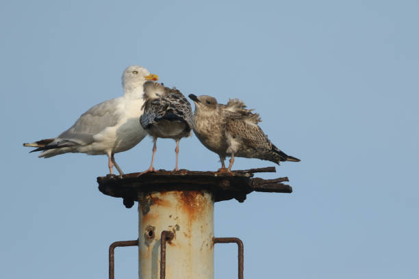 A Herring Gull, Larus argentatus, and her two babies are standing on a metal structure. The babies have been begging for food.