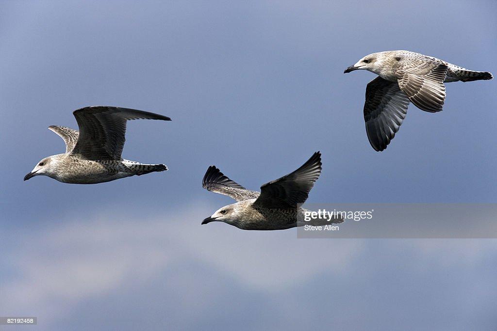 Herring Gulls : Stock Photo