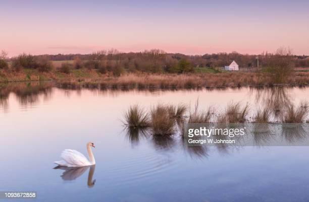 hertford swan - hertford hertfordshire stockfoto's en -beelden