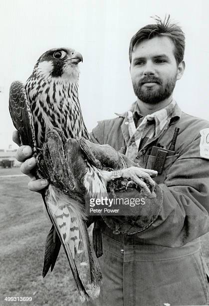 He's got the bird Wildlife control officer Rennie Carson holds a female peregrine falcon that was trapped at Pearson airport last week