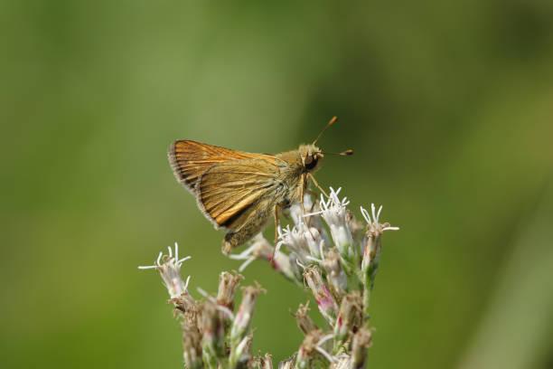 hesperia florinda, Hesperiidae, bug larva, Butterfly