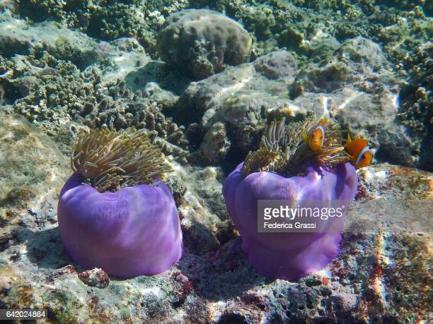 heteractis magnifica (sea anemone) with amphiprioninae fish (clown fish) - orange fin clownfish stock photos and pictures