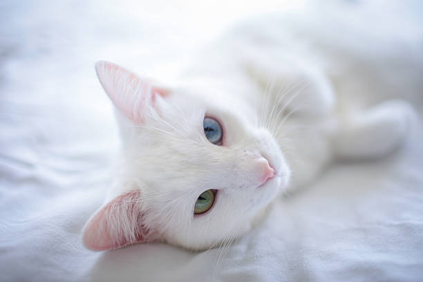 Heterochromia White Cat On Bed Wall Art