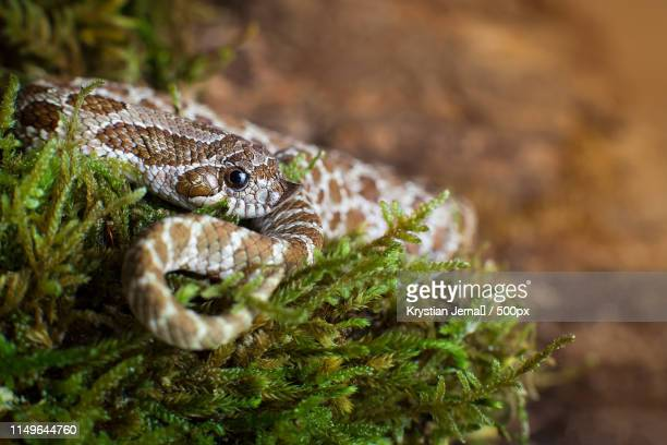 heterodon nasicus - hognose snake stock pictures, royalty-free photos & images