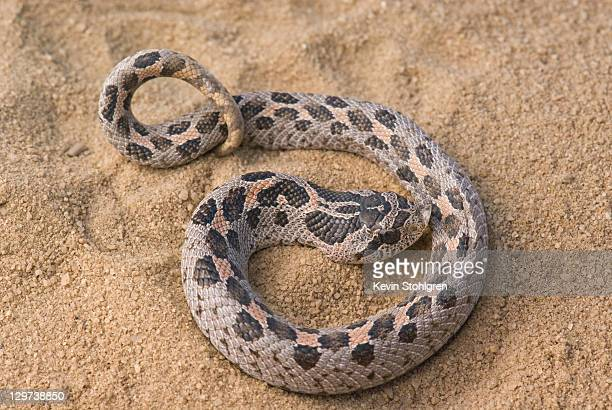 heterodon simus - hognose snake stock pictures, royalty-free photos & images