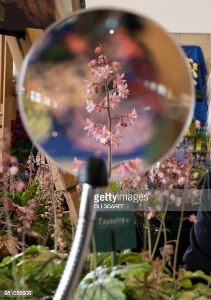 A heucherella plant is pictured beyond a magnifying glass as exhibitors put the finishing touches to thier floral displays on the eve of the...