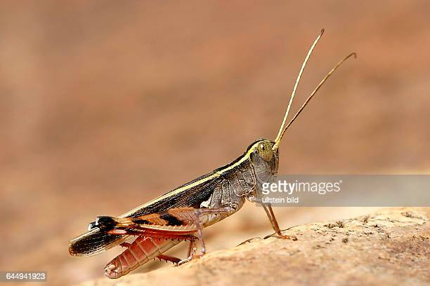 Heuschrecke / locust