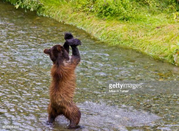 hey macarena - dancing bear immagine foto e immagini stock