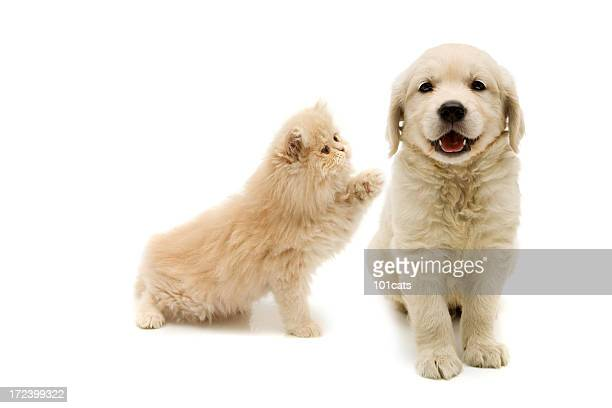 hey you - persian cat stock pictures, royalty-free photos & images