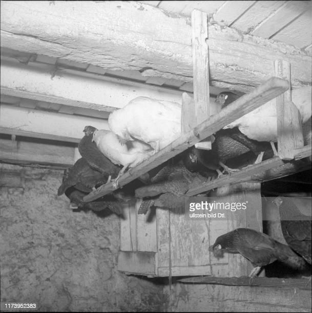 Hühner auf Stange im Hühnerstall sitzend 1950