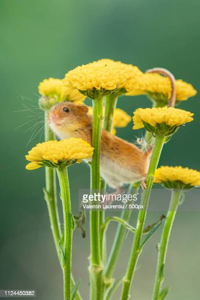 hi - harvest mouse stock pictures, royalty-free photos & images