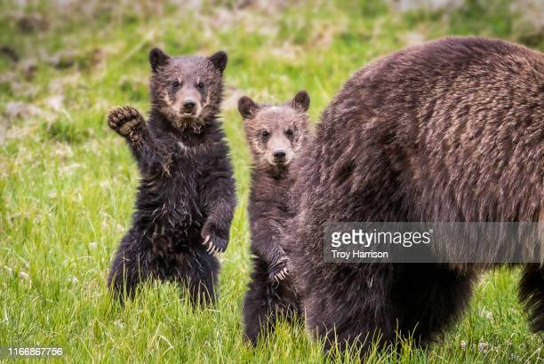 hi - cub stock pictures, royalty-free photos & images