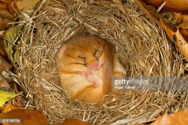 hibernating dormouse - 冬眠 ストックフォトと画像