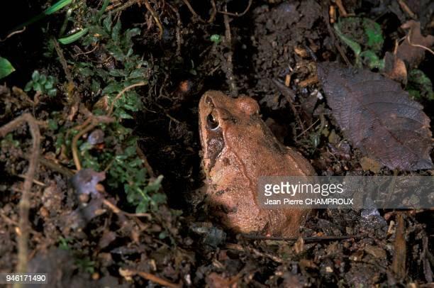 Hibernation et abri d'une grenouille agile.