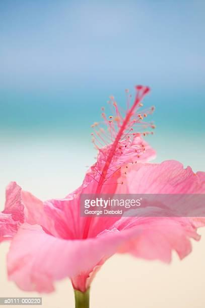 Hibicus Flower