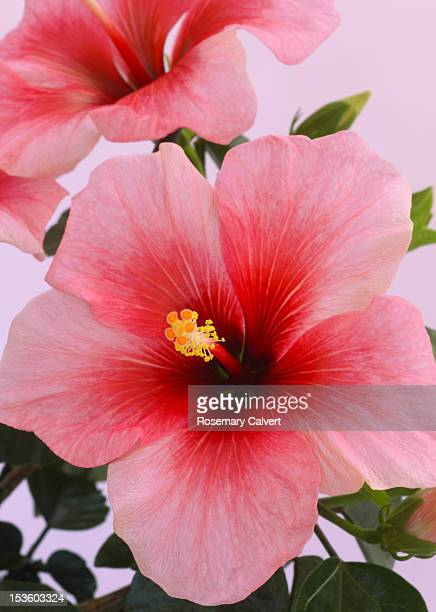Hibiscus flower close-up in shades of red and pink