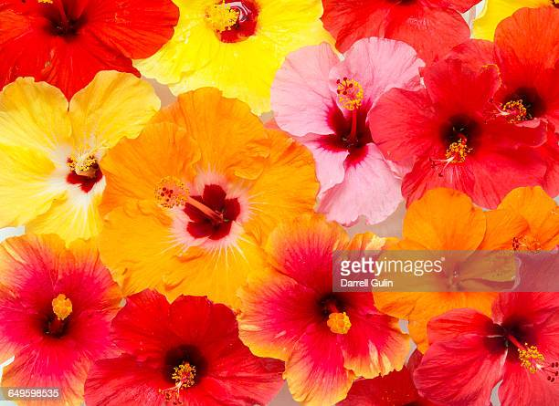 hibiscus flower pattern and design - tropical flower stock pictures, royalty-free photos & images