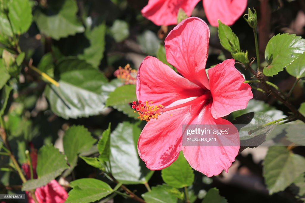Flor de Hibisco : Foto de stock