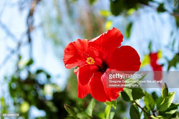 hibiscus flower - gregoria gregoriou crowe fine art and creative photography stockfoto's en -beelden