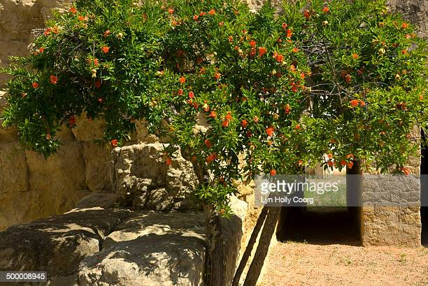 hibiscus (malvaceae) flowers on ancient wall - lyn holly coorg stock pictures, royalty-free photos & images